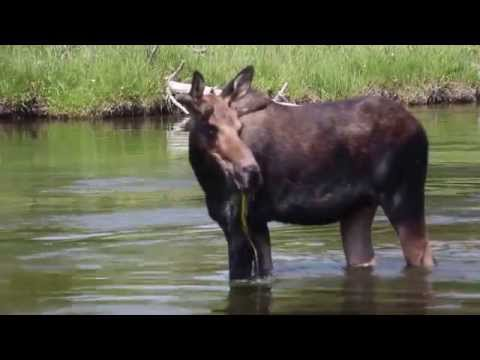 Moose - Yellowstone National Park