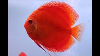 Дискусы Украшение аквариума. Animals & fish.(Дискусы Украшение аквариума. Animals & fish. Аквариумные рыбки Дискусы относятся к цихлидам. Содержат в аквариум..., 2015-07-15T12:04:58.000Z)