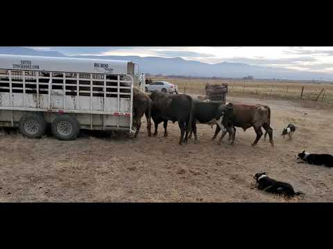 Loading Bucking Bulls in the Big Bend Trailer with Satus Jet, Brodey, Bear and Brick