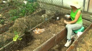 Сад и Огород: Грядки в теплице высаживаем рассаду огурцов секреты полива рассады