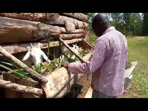Joseph Attending to and Feeding Goats in Siaya Kenya