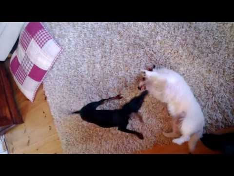 english-toy-terrier-plays-with-jack-russell