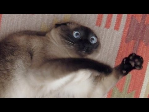 Thumbnail: Cats just never fail to make us laugh - Funny cat compilation