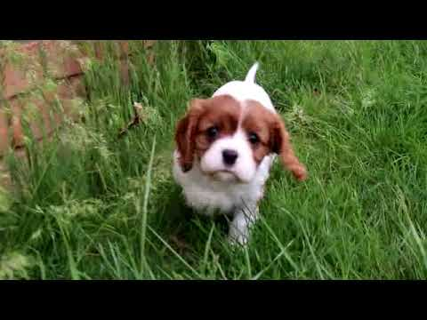 Cavalier King Charles Spaniel Annie Video shadygroveacres.com