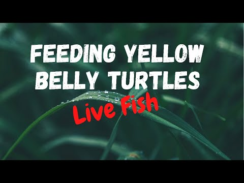 Feeding Baby Turtles Live Fish