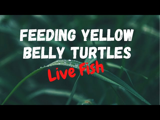 Feeding baby turtles live fish