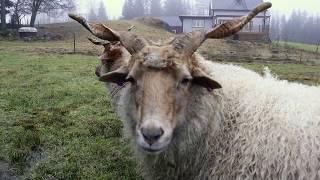 Swedish Farm Life  Our Racka Sheep (Skruvhornsfår)