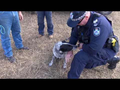 Hero Blue Heeler Becomes Queensland's First Honorary Police Dog
