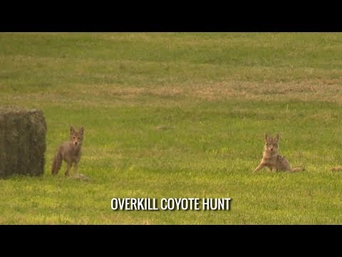 Overkill Coyote Hunt