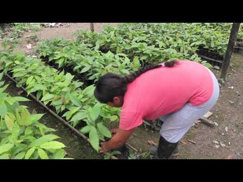 Planting Seeds: Organic Cacao