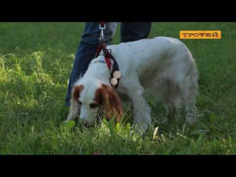 Русский охотничий спаниель-лучший друг и охотник!