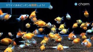 【charm】金魚 まめピンポンパ�...