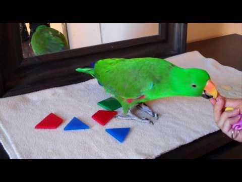 Jasper Eclectus Parrot Learns Colours & Shapes
