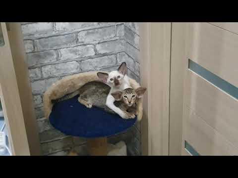 Oriental and siamese kitten