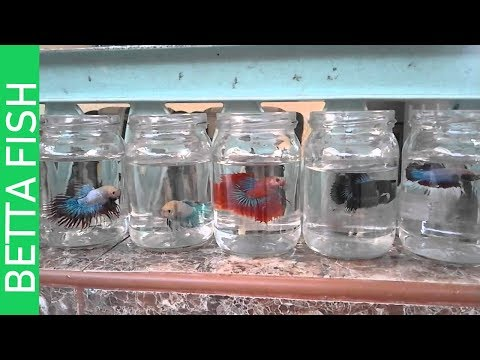 Putting 2 MONTHS OLD BETTAFISH 🐟🐟  In Separate Bottles