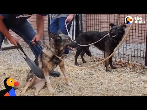 Dog Won't Leave Dog Best Friend's Side As She Learns To Walks Again | The Dodo
