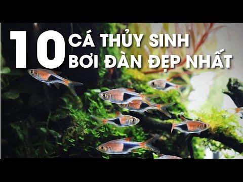 Top 10 cá thủy sinh bơi đàn đẹp nhất_ Nắng Aqua