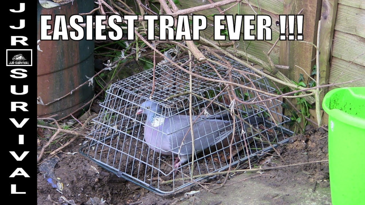 EASIEST BIRD TRAP IN THE WORLD EVER - YouTube