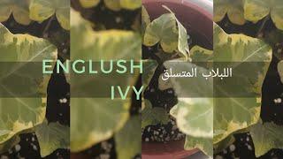 نبات اللبلاب المتسلق Hedera Helix رعايته و طرق إكثاره