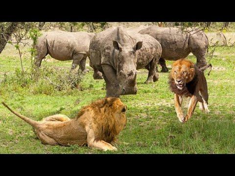 Download Faru Mmoja Aliwabatua simba Watatu Rhino Win Against Three Lions And Survived