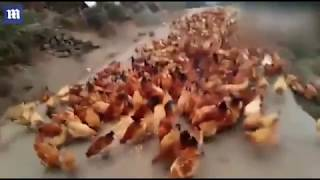 Chuyện lạ  Đàn gà bay ào ào như chim ở Trung Quốc