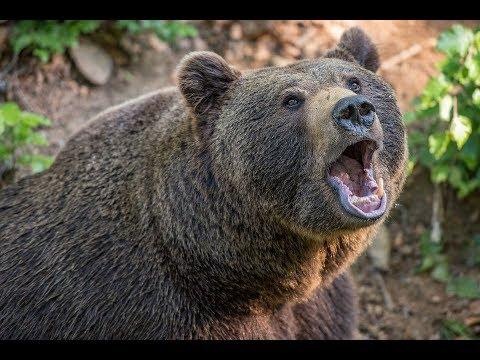 Как подготовить приваду на медведя