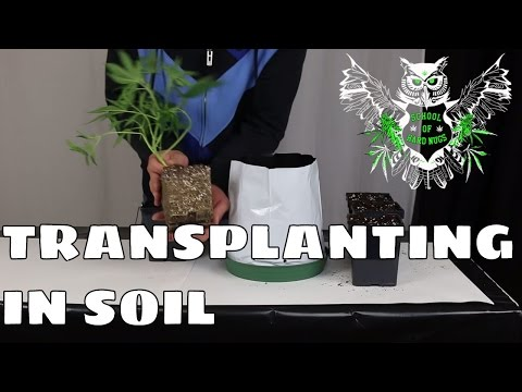 Transplanting in Soil For an Increased Yield | Learn How to Grow Marijuana