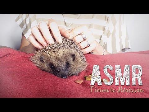 ASMR Français ~ Timon le petit Hérisson  / the little Hedgehog - whispering