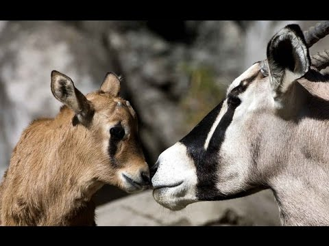 Oryx Fawn Born in Chapultepec Zoo