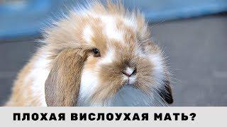 Крольчиха раскидала крольчат. Вислоухие декоративные кролики - карликовый баран кролик.