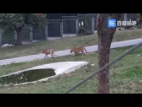 Full Download] Harimau Vs Singa Singanterluka Parah