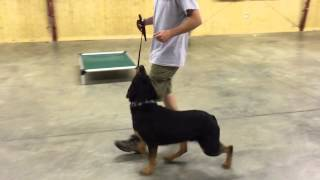 "Rottweiler For Sale ""zavier"" Obedience/protection Dog"