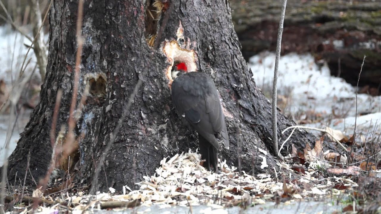 Male Pileated Woodpecker Pecking A Tree Hole Youtube
