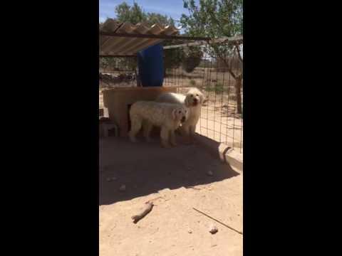 Cachorros de Komondor!
