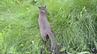 Серый кот на прогулке