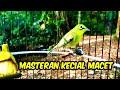 Hitungan Detik Langsung Nyaut Pakek Masteran Ini  Mp3 - Mp4 Download