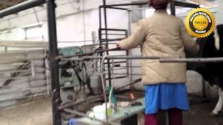 Молочная ферма. Экскурсия. Как живут коровы на ферме(В нашей деревне есть молочно-товарная ферма. Там живут коровы, быки и телята. В один из дней мы с дочкой отпра..., 2014-03-29T10:50:52.000Z)