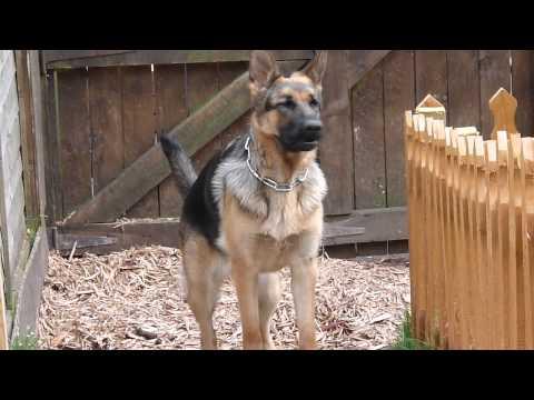 German Shepherd on Guard