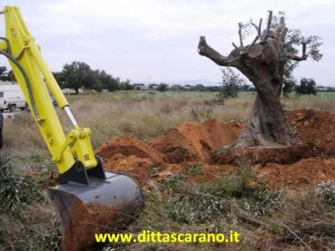 Piantumazione alberi d 39 olivo secolari taranto youtube for Alberi in vendita
