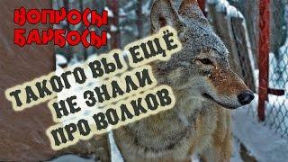 Фото Такого вы еще не знали про волков или как волк мешает снимать передачу Вопросы Барбосы