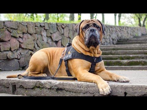 Multipurpose nylon dog harness with anti-pulling ring on Bullmastiff