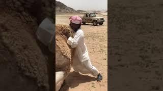 Шок! Секс с верблюдом! Как трахаются верблюды и как им в этом помочь