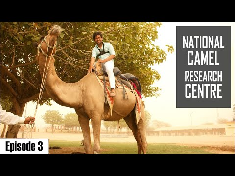 Bikaner- Camel Farm | The Rajasthani Camel | Episode 3 | Tour of Bikaner | #WhereDoWeGoNow