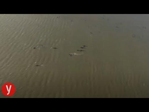 מאות לווייתנים נקלעו לחוף בטסמניה