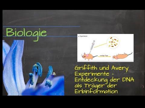 Griffith und Avery Experimente - Entdeckung der DNA als Träger der ...