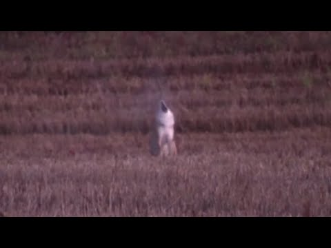 Coyote Hunting – Under a minute!