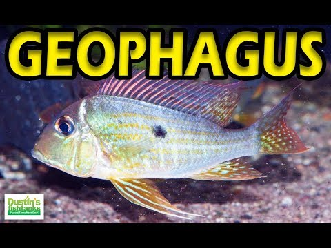 HOW TO KEEP GEOPHAGUS: Species Sunday