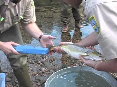 Fishing on the Fly - Trout Tracking on the Lower Cumberland River