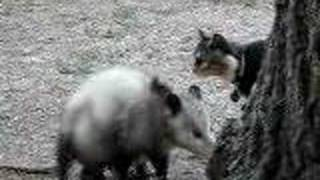 cats watch mamma possum drop her baby from a tree