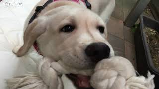 ラブラドールレトリバーの「どん」です。 はじめてのハーネスは、『DOG ...